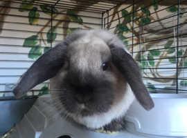 Cute dwarf rabbit