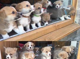 KC Registered Welsh Pembroke Corgi Puppies For Sale