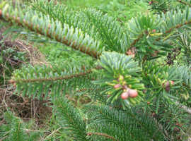 Christmas Tree - (PYO) Cut or Dig your own living Christmas Tree straight from the field Sustainable - no Carbon miles!!