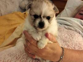 Pomchi puppies for sale 2boys2girls