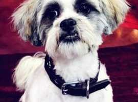Lhapese (Lhapso apso/Maltese Cross) Dog for Stud