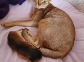 Beautiful Abyssinian kittens