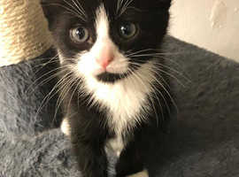 6 beautiful kittens pure black and white 8 weeks old