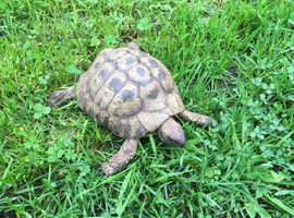 Mature Proven Male Hermann Tortoise