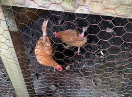Hens for rehoming