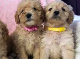labradoodle f1b puppies north devon ilfracombe