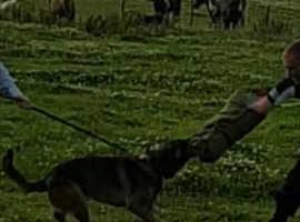 German shepherd x Dutch Herder