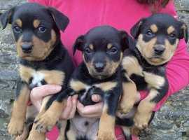 SOLD Kelpie pups