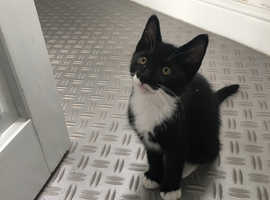 Gorgeous female black and white kitten
