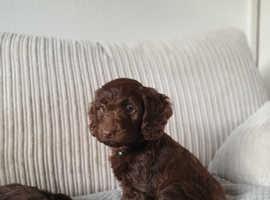 Male Chocolate Cockapoo