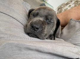 Beautiful Great Dane Puppies