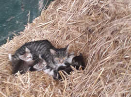 Tabby/Bengal kittens for sale 100each Bengal stripped kittens 400 each and 1 syemese cross grey black stripped 500