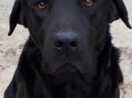 8 Labrador puppies for Sale