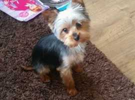 Femi Gold yorkie Small size puppies