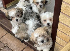 Malshis puppies ready to go now