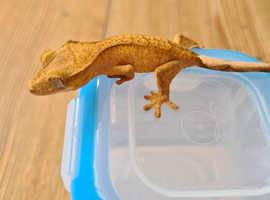 CB20 Crested Gecko