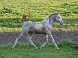 Beautiful Paint Filly