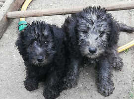 Bedlington terrier pup's for sale