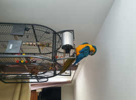 Large blue gold macaw