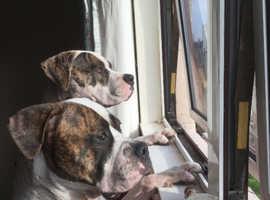 Beautiful American Bulldog (Dam and Sire) Litter due 26/03/19