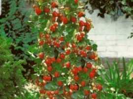 climbing strawberry plants