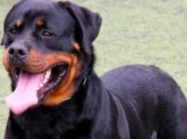 wanted boy/girl rottweiler pup