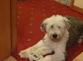 WANTED Old English Sheepdog puppy or Labrador retriever
