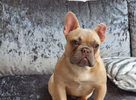 9 month old french bulldog