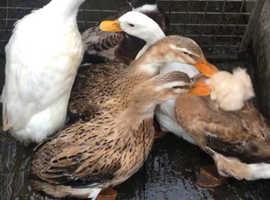 Top knot ducks and Pekin ducks