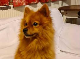 Beautiful well mannered Pomeranian