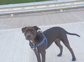 Kc registered blue staffy puppy