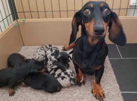 Beautiful mini puppies