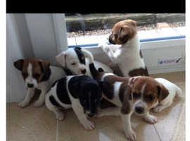 6 beautiful stunning Jack Russell puppy's