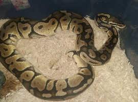 royal python het albino
