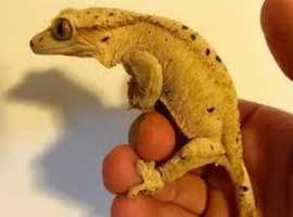 CRESTED GECKOS ADULT FEMALE WANTED