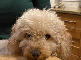 Fluffy and sweet mini Poodle for rehoming