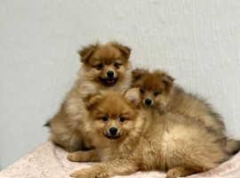 2 beautiful boy Pomeranian x Maltese