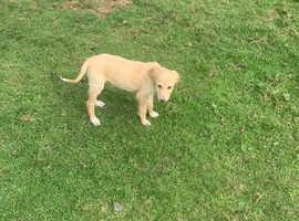 Saluki X greyhounds