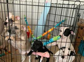 Bullwhip Puppies