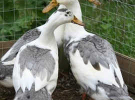 4 ducks to be rehomed