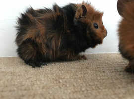 Baby boy guinea pigs available