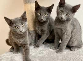 3 beautiful Russian blue kittens
