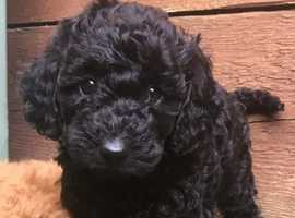 Miniature labradoodles PRA CLEAR READY TO LEAVE
