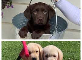Chunky chocolate yellow golden Labrador puppies