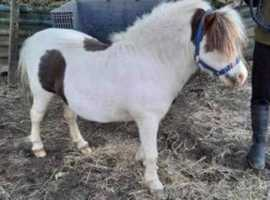 Adorable Shetland stallion