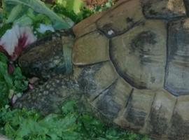 HERMANN TORTOISE MALE AGE 12