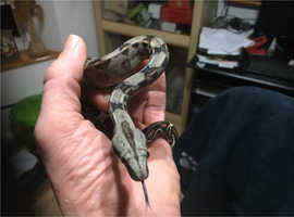 Beautiful Baby Boas for sale
