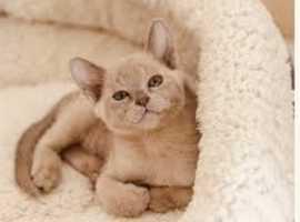 Beautiful lilac female kitten