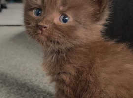 Beautiful maine coon cross - 8 week old kittens - ready now!