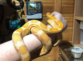 Female Creamsicle Cornsnake